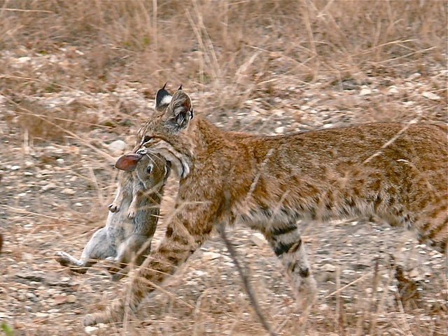 Bobcat with a rabbit