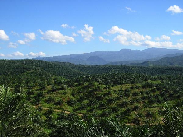 Oil palm plantation in Cigudeg 03