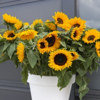 Growing Sunflowers in Pots - facts about sunflowers