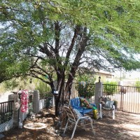 The Thornless Chilean Mesquite is the best tree for Shade