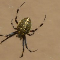 SPIDER identified in my garden - black, gray, large abdomen, 4-6 white spots on belly