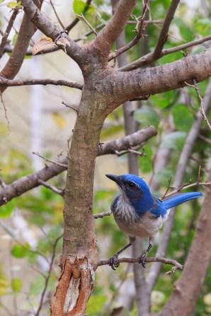 Western Scrub-Jay- Pedernales Falls SP