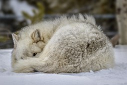 Sleeping Grey Wolf