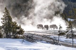 Bison Feeding in the Mist