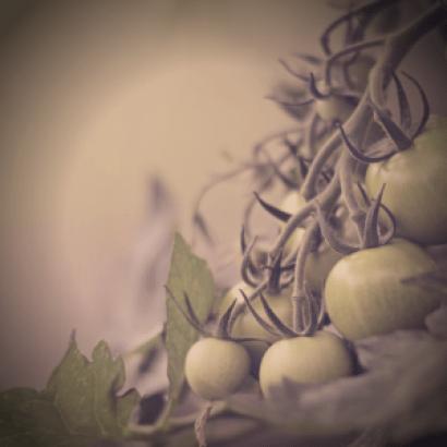 Smog in my tomato garden