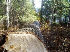 Big Tree Down