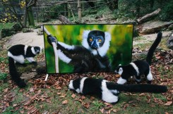 Prostredníctvom detailných a realistických záberov priblížili prirodzené prostredie vo voľnej prírode zvieratám, ktoré majú byť od roku 2016 postupne vypustené do chránených oblastí.