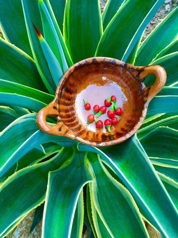 Primera cosecha el chile piquín proveniente de la Casa de Don Antonio Arriola, de Zacapu, Michoacán, junto al agave suave. FOTO: José FUENTES-SALINAS.