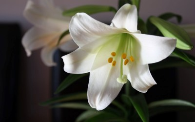 Easter Lilies—Shawnee Campus