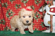 Noel Female CKC Poodle 6wks old Ready Dec 23rd $1250 HAS DEPOSIT