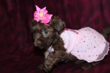 Ginger Female CKC Morkipoo $1750 Ready May 26th HAS DEPOSIT!