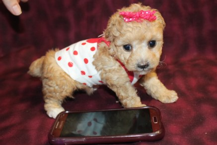 Jazzy Female CKC Poodle $1500 Ready May 30th HAS DEPOSIT!