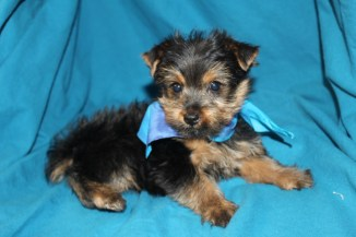 DASH Male CKC Yorkie Reg $1750 Back To School Special $1500 AVAILABLE
