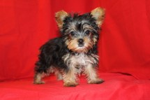 Oasis Male CKC T-CUP Yorkie 9 Wks Old $1500 Ready 9/17 AVAILABLE EAW 4.2 LBS