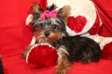 Tidbit Female T-cup Yorkie Ready Aug 13th $1750 Special $1500 SOLD