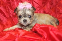 Tag A Long Female CKC Shorkie $1750 Ready 2/22 SOLD MY NEW HOME