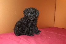 Midnight male ckc poodle $1500 Ready 4/3 SOLD MY NEW HOME DAVENPORT, FL