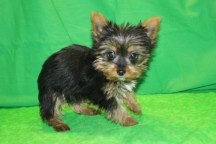 Michelangelo Male CKC T-cup Yorkie $1900 Ready 2/10 AVAILABLE