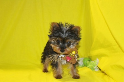 Michelangelo Male CKC T-cup Yorkie Discounted from$2500 to $1750 Red 2/10 AVAILABLE