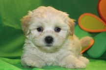 Alfie Male CKC Malshipoo $1750 Ready 5/21 SOLD MY NEW HOME NEW PORT, CT