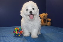 Maestro Male CKC Maltese $1750 ON SPECIAL $1500 Ready 5/13 AVAILABLE