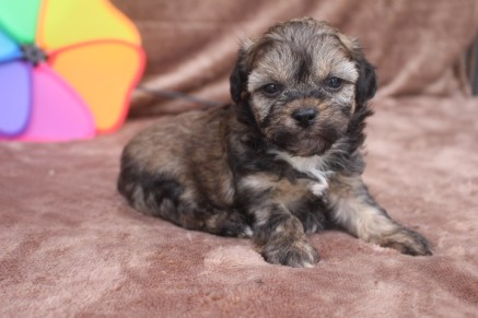 Desi Male CKC Shorkipoo $1750 Ready 5/20 HAS DEPOSIT MY NEW HOME MIDDLEBURG, IN