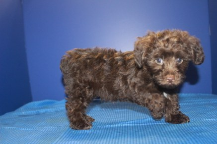 Charlie Male CKC Yorkipoo $2000 ON SPECIAL $1750 Ready 5/27 AVAILABLE