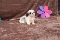 Peanut Male CKC Imperial Shih Tzu $2000 WAIT PUPPY SPECIAL $1750 Ready 5/2 AVAILABLE