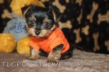 Frito Male T-CUP Yorkie $1750 BUT WAIT PUPPY SPECIAL NOW $1500 Ready 8/21 SOLD MY NEW HOME ATL BCH, FL