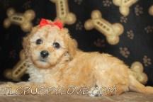 BELLA Female Mini CKC Labradoodle $2000 Ready 8/31 SOLD MY NEW HOME JAX, FL