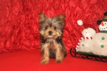 Scotty Male T-Cup CKC Shorkie $2500 BUT WAIT CHRISTMAS SPECIAL $1750 Ready 10/7 SOLD MY NEW HOME JACKSONVILLE, FL