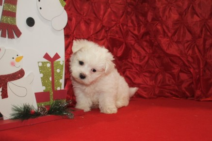 Pooch Male CKC Maltese $1750 Ready 12/12 SOLD MY NEW HOLD ST AUG. , FL