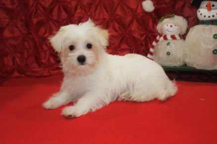Mac Male CKC Morkipoo $1750 BUT WAIT SPECIAL $750 Ready Now with all his shots including rabies SOLD MY NEW HOME JAX, FL