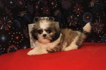 Noel Female CKC Shih Tzu $1750 Ready 12/24 SOLD MY NEW HOME JAX, FL