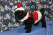 Bandit Male CKC Malshipoo $1750 BUT WAIT SPECIAL $1500 Ready 11/25 SOLD MY NEW HOME MONTICELLO, FL