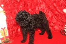 Lewie Male CKC Poodle $1750 BUT WAIT SPECIAL $1500 Ready 11/18 SOLD MY NEW HOME ORANGE PARK, FL