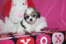 Mario Male CKC Yorkipoo $2000 Ready 1/21 SOLD MY NEW HOME JACKSONVILLE, FL