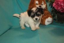 Gus Male CKC Havanese $1800 BUT WAIT SPECIAL $1500 Ready 2/16 SOLD MY NEW HOME CLEVELAND TN