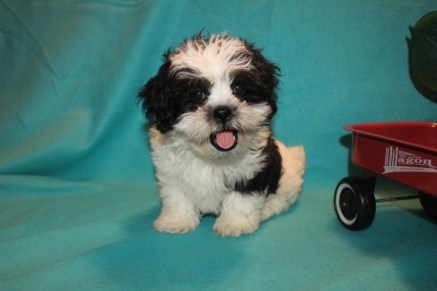 Cupid Male CKC Shihpoo $1750 Ready 2/10 SOLD MY NEW HOME MIAMI, FL