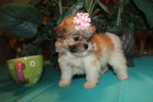 Hope Female CKC Malshi $2000 EASTER SPECIAL $1500 Ready 3/29 8Wks 1.8lbs MY NEW HOME ORANGE PARK, FL SOLD