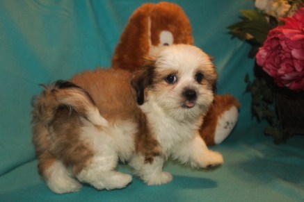 Luca Male Imperial CKC Shih Tzu $1750 BUT WAIT EASTER SPECIAL $999 Ready 2/22 SOLD MY NEW HOME JACKSONVILLE, FL