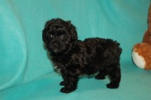 Linus Male Maltipoo $1500 Ready 3/17 SOLD MY NEW HOME GULF BREEZE, FL