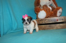 Peace Female CKC Malshi $1750 Ready 3/29 HAS DEPOSIT MY NEW HOME ST AUGUSTINE, FL