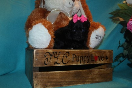 Pebbles FemaleT-Cup Yorkipoo $1750 Ready 3/30 SOLD MY NEW HOME JACKSONVILLE, FL