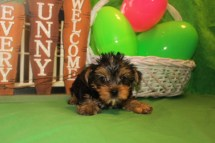 Cooper Male T-cup $1750 SPECIAL $1500 Ready 3/31 MY NEW HOME ORANGE PK, FL SOLD