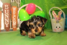 Cooper Male T-cup Yorkie $1750 SPECIAL $1500 Ready 3/31 MY NEW HOME ORANGE PK, FL SOLD