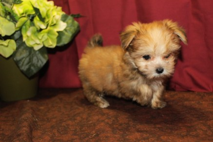 Pee Wee Male CKC T-Cup Morkie $2000 Ready 5/7 9W1D 1.4 Lbs SOLD MY NEW HOME SAVANNAH , GA