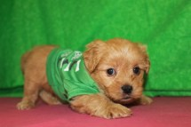 Sylvester Male CKC Shorkipoo $1750 Ready 5/10 HAS HOLD 4W5D Old