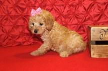 Pixie Female CKC Mini Labradoodle $1750 Ready 5/8 7W2D 2.4 lbs SOLD MY NEW HOME JACKSONVILLE, FL
