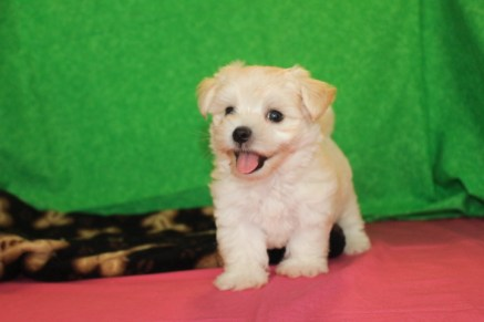 Klondike Male CKC Morkipoo $1750 Ready 4/26 SOLD MY NEW HOME JACKSONVILLE, FL 6w5d 2.4lbs